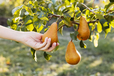 Female hand holds Fresh juicy tasty ripe pear on branch of pear tree in orchard for food or juice, harvesting. Crop of pears in summer garden outside. Village, rustic style. Eco, farm products 写真素材