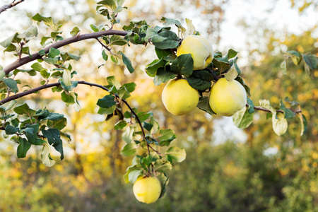 Beautiful fresh ripe juicy quince fruit hang on a tree branch in the orchard for food or juice. Organic quinces in natural environment for food or juice. Crop of quince in summer garden. Eco, farm pro 写真素材