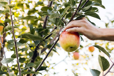 Female hand holds beautiful tasty red apple on branch of apple tree in orchard, harvesting. Crop of apples in summer garden outside. Village, rustic style