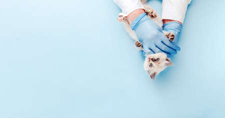 Kitten vet examining. White kitten in doctor hands on color blue background. Kitten pet check up, vaccination in veterinarian animal clinic. Health care for domestic animal. Copy space Top view.