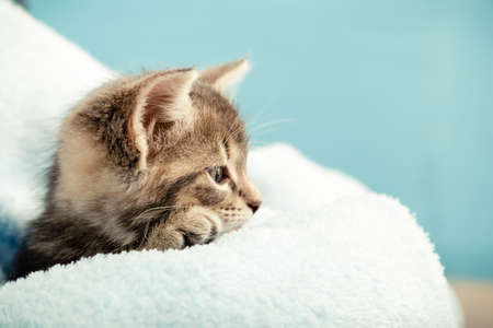 Kitten portrait with paw in profile view looking side. Cute tabby kitten in blue plaid. Newborn kitten Baby cat Kid domestic animal. Home pet. Cozy home winter. Closeup portrait with copy space Imagens