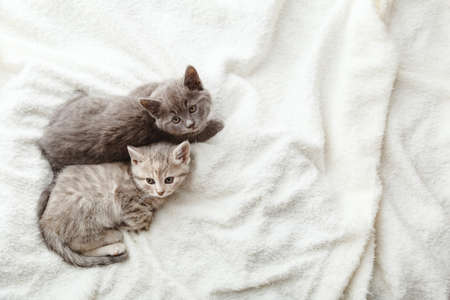 2 two gray striped kittens. Beautiful striped kittens lie on soft fluffy beige plaid. Cozy home with pet cats, animal baby. Top view with copy space. Sleeping cat portrait. Imagens