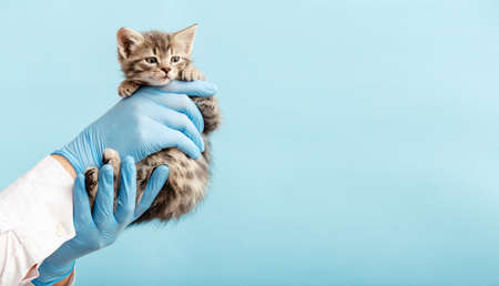 Kitten vet examining. Striped gray cat in doctor hands on color blue background. Kitten pet check up, vaccination in veterinarian animal clinic. Health care domestic animal. Copy space.