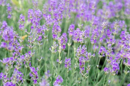 Lavender bushes flower field background. Harvesting of lavender Flowers in lavender fields in Provence region of France. Violet flower lavand Closeup Selective focus