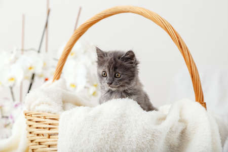 Kitten portrat. Cute gray kitten sitting in basket on white plaid as gift. Newborn kitten Baby cat Kid domestic animal. Home pet. Cozy home winter.