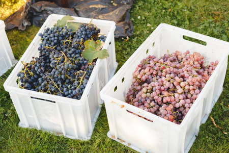 Different grape varieties for winemaking or sale in boxes during the harvest. Black and pink table grapes. Grape variety - Cardinal, Cabernet Franc, Cabernet Sauvignon, Merlot, Nebbiolo, Pinotage. Banco de Imagens