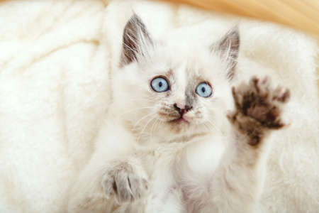 Cute white kitten with blue eyes and spotted nose lies play on white fluffy blanket. Newborn kitten Baby cat Kid domestic animal. Kitten shows paw.