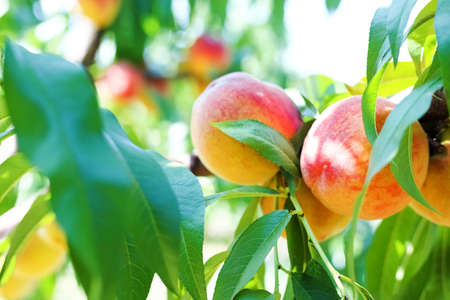Red peaches hang on a tree between green leaves