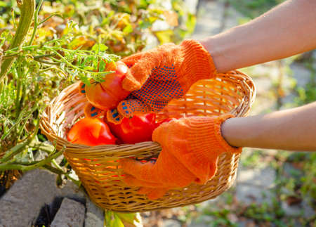 Red tomato in female hands. Farmer Picking Tomatoes, Harvesting tomatoes in basket. Ripe tomato vegetables. Home garden, organic vegetable cultivation. Vegetable Growing. Gardening concept.