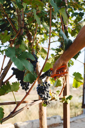 Man hand with scissors cutting grapes bunches in grape harvesting time for food or wine making. Cabernet Franc, Sauvignon, Grenache grapes