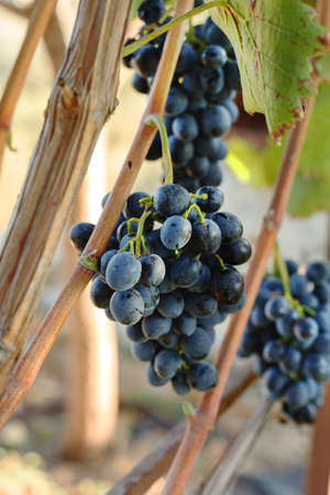 Black grapes bunches in grape harvesting time for food or wine making. Cabernet Franc, Sauvignon, Grenache grapes