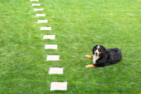 bernese mountain dog lying on green grass on the lawn background wiht the path. Happy family smiling dog. Stock Photo