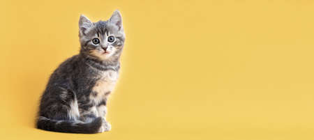Small tabby kitten on yellow background with copy space. Gray cat isolated on colored background. Long web banner with copy space