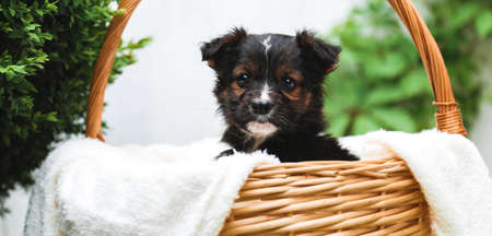 Black puppy sits in basket on background of green nature. Happy dog pooch, not purebred on white blanket with flower outside in summer. Long web banner