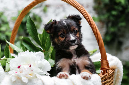Black puppy sits in basket with peony flowers on background of green nature. Happy dog pooch, not purebred on white blanket with flower outside in summer. Dog surprise gift in basket