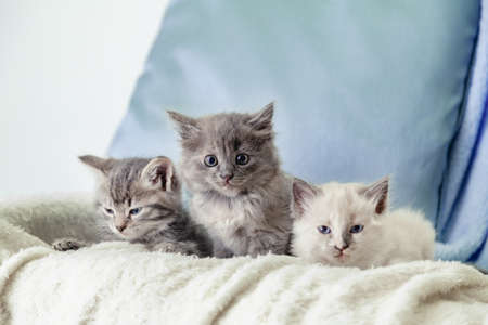Beautiful fluffy 3 kittens lay on white blanket against a blue background. Many kittens. Gray white and tabby kitten. Different cats pets lie on sofa at home