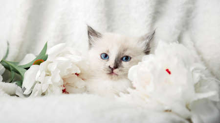 White kitten with blue eyes gray ears. Portrait of beautiful fluffy white cat lies in peony flowers. Baby animal kitten lies on plaid. Long web banner