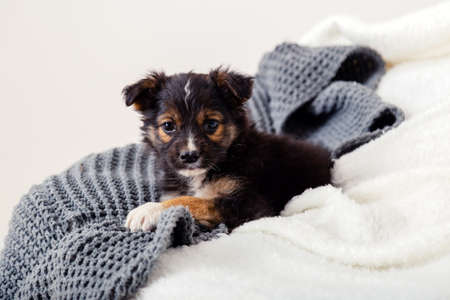 Dog Toy terrier puppy lying on blanket on bed. Black dog lies on sofa at home. Portrait cute young small black dog resting in cozy home. White gray background Banco de Imagens