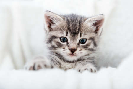 Striped kitten face portrait. Beautiful fluffy tabby gray kitten. Cat animal baby kitten with big eyes sits on white comfortable soft blanket plaid Banco de Imagens - 159934405