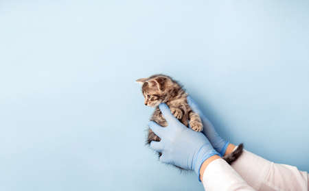 Kitten vet examining. Striped gray cat in doctor hands on color blue background. Kitten pet check up, vaccination in veterinarian animal clinic.Health care domestic animal. Copy space Banco de Imagens