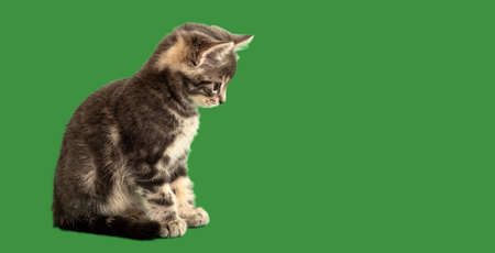 Small tabby kitten look side on green background on copy space. Gray cat isolated on color background. Long web banner with copy space