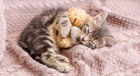 Baby cat sleeps on cozy blanket hugs a toy. Fluffy tabby kitten snoozing comfortably with teddy bear on knitted pink bed. Long web banner with copy space.