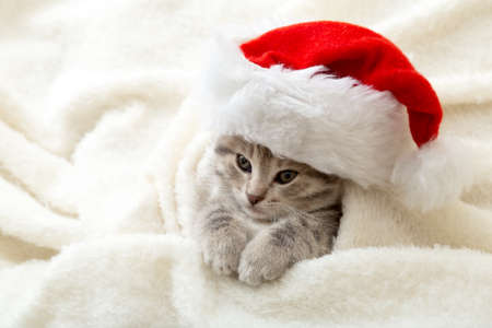 Christmas Kitten in santa claus hat portrait wrapped up in soft fluffy white plaid. Christmas gray tabby New Year cat on white background with copy space Banco de Imagens
