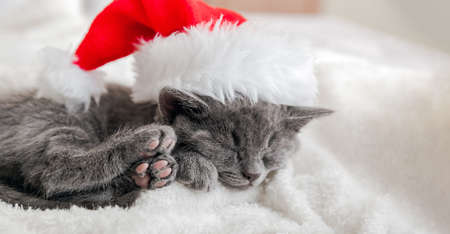 Christmas Kitten in santa claus hat sleeping on soft fluffy white plaid. Christmas gray british cat portrait with pink paws. New Year gray kitten cat sleeping. Cozy cat sleep dream. Long web banner