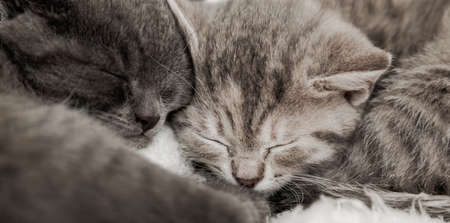 Couple fluffy kitten sleep on blanket. Little baby gray and tabby adorable cat in love are hugging. Cosiness Sleeping kittens muzzles. Animal pet portrait Close up. Long web banner Banco de Imagens