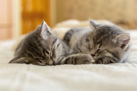 Two tabby kittens sleeping together. Pretty Baby cats Kids animal cat and cozy home concept. Home pets. Animal care.