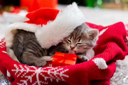 Kitten wearing a Santa Claus hat. Christmas cat licking gift box near the garland lights. Cristmas presents gifts from pet