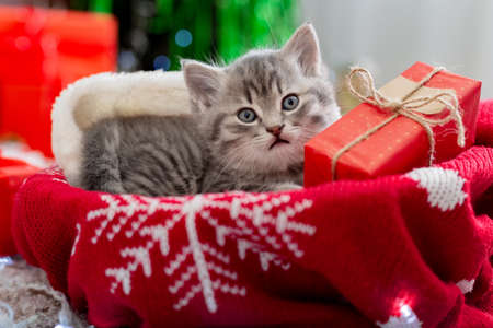 Christmas cat lies with gift under New Year tree. Animal kitten with gift box for Christmas on ugly christmas sweater in home interior