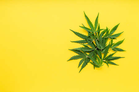 Green hemp leaves on color yellow background. Medical marijuana plant. Cannabis Sativa. Background with copy space, mock up. Weed legalize.