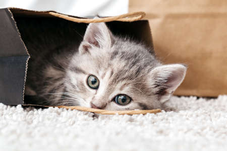 Adorable small tabby kitten is hiding in paper shopping bag. Gift for woman on valentine day kitten in package surprise. Sale purchase concept. Cat in delivery bag at home on carpet Stock Photo