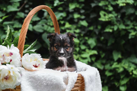Black puppy dog sits in basket on background of green nature. Happy dog pooch, not purebred on white blanket with peony flower outside in summer. Animal gift for valentine day