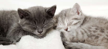 Couple happy kittens sleep relax together. Kitten family in love. Adorable kitty noses for Valentine s Day. Long web banner close up. Cozy home animal sleeping comfortably