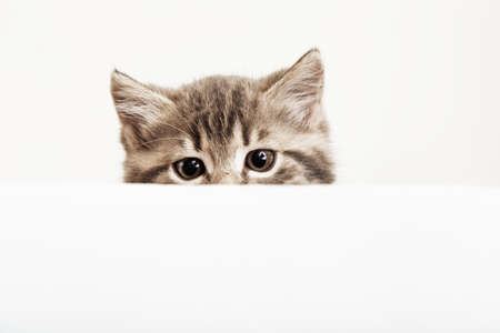 Kitten head peeking over blank white sign placard. Pet kitten curiously peeking behind white banner background with copy space. Tabby baby cat on placard template.