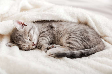 Tabby kitten sleep curled up on white soft blanket. Cat rest napping on bed. Comfortable pets sleep at cozy home.