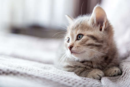 Kitten portrait. Cat lies on gray sofa looking side on copy space. Cat rest relax on bed. Pet lies at comfortable cozy home