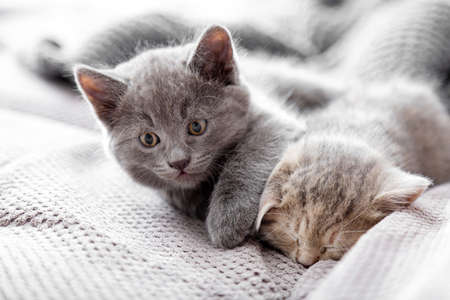 Wakeful, playful gray kitten tries to wake up sleeping stripped cat. Kittens are resting at cozy home interior. Couple fluffy kittens lie sleep on gray sofa. Pets Cosiness Sleeping kittens.
