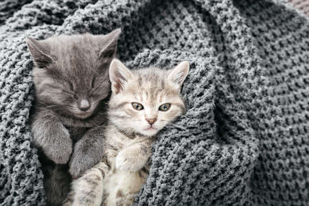 Couple cute tabby kittens sleeping on gray soft knitted blanket. Cats rest napping on bed. Feline love and friendship on valentine day. Comfortable pets sleep at cozy home. Copy space