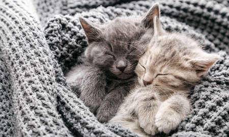 Couple cute kittens in love sleeping on gray soft knitted blanket. Cats rest napping on bed have sweet dreams. Feline love friendship on valentine day. Comfortable pets sleep at cozy home. Long banner Banco de Imagens