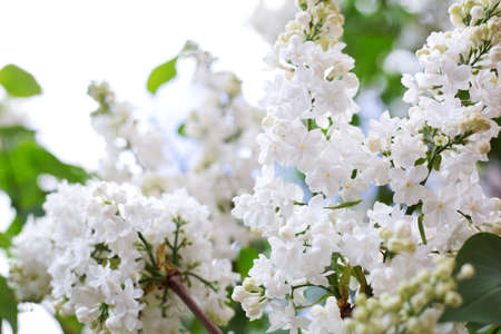 Spring blooming flowers of White lilac on lilac bushes. Natural White Flower background outside.
