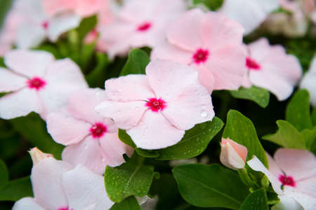 Catharanthus flowers. Summer pink white flowers in drops of morning dew. Close up street bed of tropical flowers, natural background.