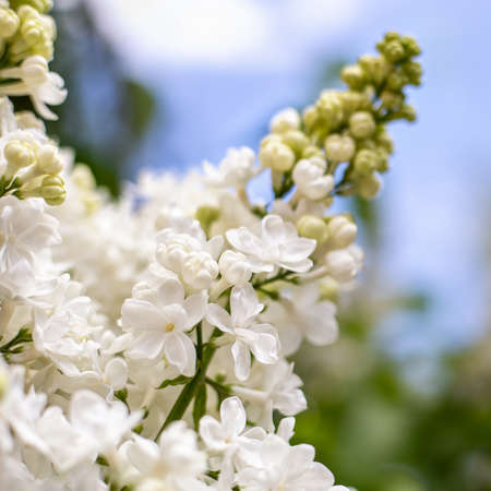 White lilac. Spring blooming flowers of White lilac on lilac bushes against blue sky. Natural White Flower background outside Banco de Imagens
