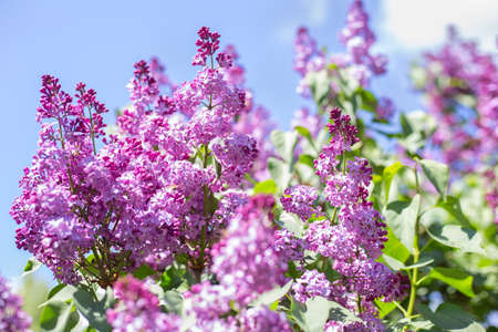Spring blooming flowers of lilac on lilac bushes against the blue sky. Natural background with copy space, place for text outside. Banco de Imagens