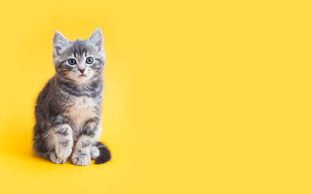 Kitten on color background with copy space. Gray small tabby cat isolated on yellow background