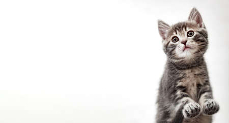 Tabby kitten on white background. Beautiful playful baby cat with paws on white background. Pet animal on long web banner with copy space. Kitten pads view from below Banco de Imagens