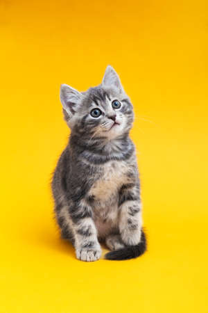 Cute kitten on color yellow background. Gray small tabby cat isolated on yellow background