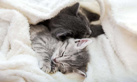 Couple cute tabby kittens sleeping on white soft blanket. Cats rest napping on bed. Feline love and friendship on valentine day. Comfortable pets sleep at cozy home. Long web banner with copy space
